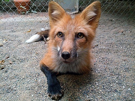 Red_Color_Russian_domesticated_Red_Fox.jpg